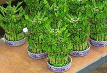 bambus malý pěstování