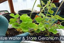 Overwintering Geranium Plants - Steps / How to overwinter you geraniums? Step by step instructions with illustrations for saving your geranium plants before the first frost.