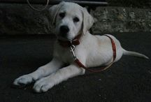 My Labrador :)