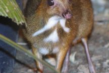 MOUSE DEER / Illustrations, art and reference photos of the mouse deer
