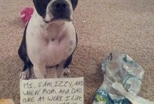 Dog Shamed Boston Terriers / The best of the best Dog Shaming photos submitted to iBostonTerrier.com!