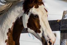 apache paint pinto horse