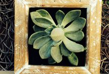 For the love of succulents, the Living Wall / Succulents are beautiful, versatile and low-care, make them ideal for living walls and containers. Living walls, indoors or out, are becoming popular as way of increasing our green space. They come in many shapes and sizes to suit small courtyards, replace art work or simply make a grand statement. Old picture frames and fence pailings are more functional than you think. This album shows you how they can be transformed into something totally different.  With a litle elbow grease and a bit of imagination, they can be transformed into one-of-a-kind living wall. Perfect for gardeners without a garden.