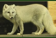 reference: Arctic Fox