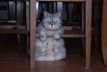 Rapsody of cats / gattiiiiiiiiiiii