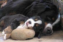 My future puppy!