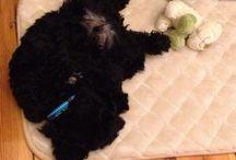 Astro  / Our labradoodle puppy