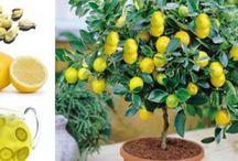 evde organik limon