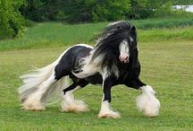 Tinker horses, the most beautiful horses in the world...