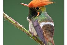 30. Kolibries / Honingzuigers.