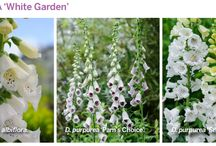 Foxglove collections!