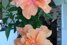 Hibiscus / by Brenda Dilsaver