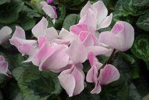 virágos, terméses szobanövények, dézsás növények