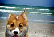 My love 4 corgi's