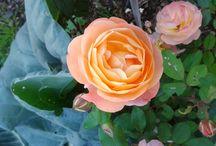 Rose Giardino Amore / natura, amore per le piante e i fiori.