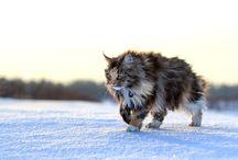 Cat Supremis