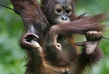 Conservation Indonesia / Conservation issues and solutions for wildlife, habitat and traditional community well-being.  FNPF, Friends of the National Parks Foundation, is focused on projects in Kalimantan, Indonesian Borneo, and Bali.