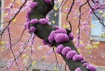 Copaci ornamentali