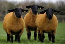 Ovečky a zase ovečky