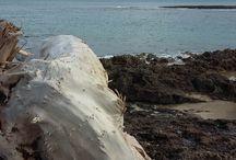 Puglian Driftwood Study
