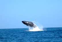 Whale Watching / We take groups Whale Watching in Panama. Go Whale-watching in style!