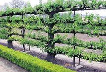 Espaliered trees