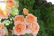 SAJÁT VIRÁGAIM 2016 / A kertemben nyíló virágok.