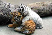 The coolest the most fierce the Tigers / Tiger love life stay cool