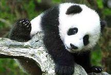 Pandas Fofos