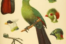 ******ornit.turacos