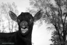 goats / by Bren Brown
