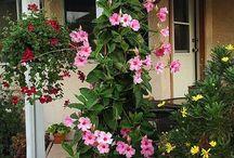 Mandeville planten