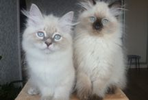 Siberian Colour Point (Neva Masquerade) kittens / Kitten for sale from Moscow.  y-cin@ya.ru Oblachko (Cloudlet) Russian Soul, female, n 33, born 25.08.14 father: Gr.Int.Ch.(WCF) David Formula Uspekha (n 21 33)  http://www.david-forus.ru/  tests:  PKD (genetic testing) - negative, CHLA, MCP, TOX, COV – negative, FeLV, FIP and FIV - negative. mother: Ch. (WCF) Geneva Strana Sibiria (a 21 33) http://stranasibiria.jimdo.com/ tests:  PKD (ultrasound) - negative, FeLV, FIP and FIV - negative.