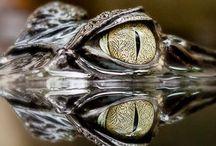 krokot