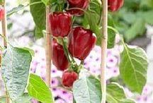 cultivos en macetas