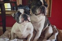 Nelly frog dog and Elvis the frenchie / Two little frenchies and their lives after being rescued. Elvis, 11, and Nelly, 6, living the good life now