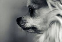 Chihuahua & other dogs