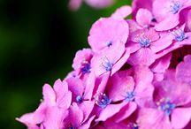 Beauté des hortensias