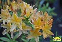 Övriga rhododendron och azaleor / Andra rhododendron och azaleor i vårt sortiment