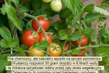 Pomidory - oprysk