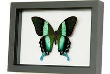 Butterfly Collection  / by Sara Scates