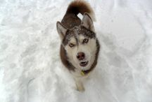 "Siberian Huskies or Snowdogs / Tips and information about the Siberian Husky, or ""Snowdogs"" as they're often called.  Most Huskies are happiest when surrounded by the white stuff! Beautiful Husky photos, activities with Huskies, and other things related to the Siberian Husky."