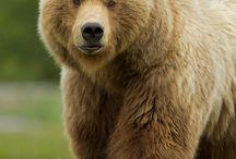 Bears tale
