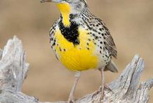 Meadowlarks and sagebrush  / by Barbara