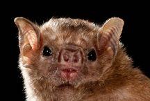 bat - Diaemus youngi