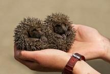 Best Animal on Earth... Hedgehogs / by Andrea Markiewicz