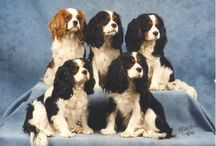 Cavalier King Charles Spaniels / Anything about King Charles Spaniels--a wonderful breed! / by Kirsten Scriven