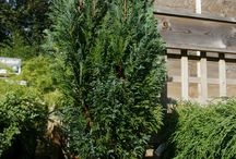 """Love Your Conifer / In the words of the Horticultural Trade Association:  """"[conifers] are extremely versatile, coming in an amazingly diverse range of shades, textures, shapes and sizes.  A potted conifer can be used to brighten up a doorstep or balcony, whilst planted conifers can create height and add fantastic accent pieces to any garden."""""""