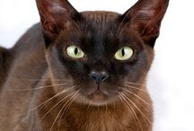 Brown Burmese