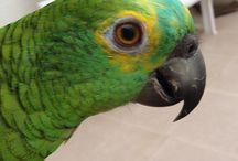 Midori / A Female Amazon Parrot